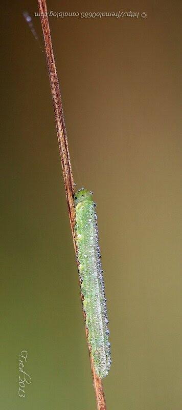chenille - larve indéterminée