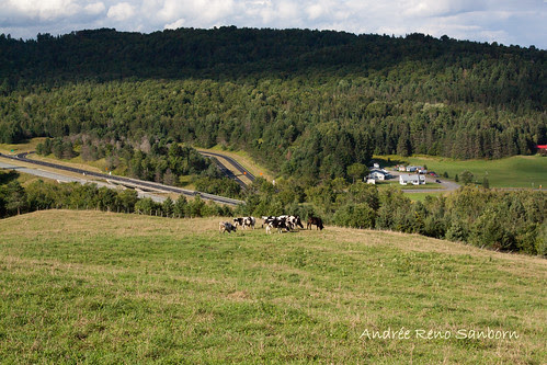 A Herd of Cows in Lyndonville-13.jpg