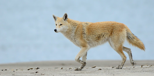 Yes, eastern coyotes are hybrids, but the 'coywolf' is not a thing