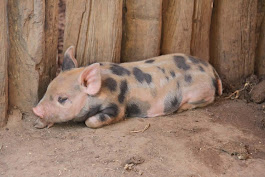 Infection in Pregnant Pigs Leads to Antisocial Piglets
