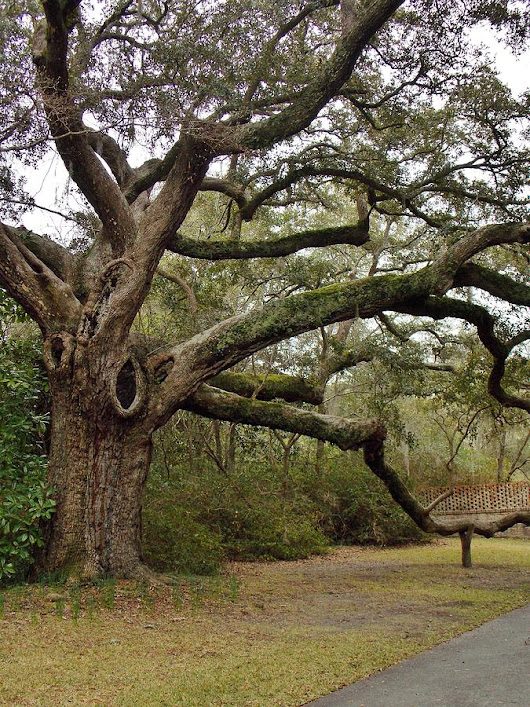 The Mighty Oak by Stacy Sikes