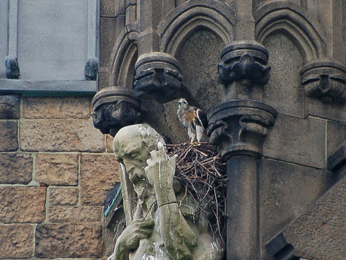 Curious Red-Tail Nestling