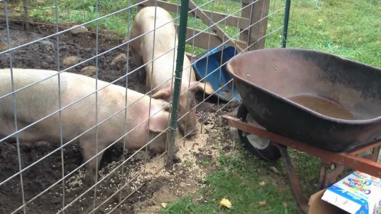 Doing my Daily Farm Chores - YouTube