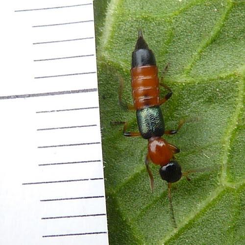 A Rove Beetle - Paederus riparius 1c