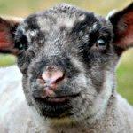 agneau02.jpg