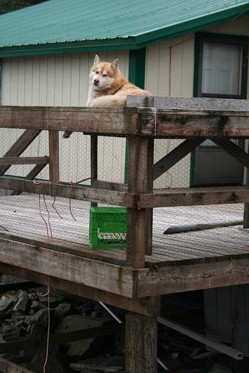 perched dog, Hydaburg, Alaska