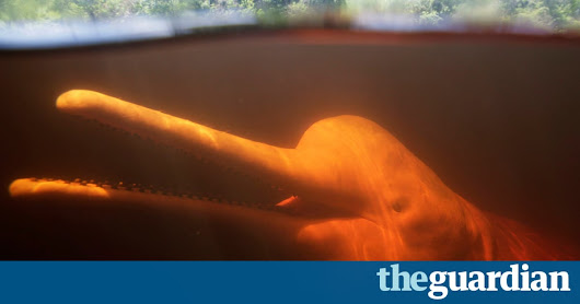Amazon's pink river dolphins reveal the bizarre impacts of seafood fraud | Environment | The Guardian