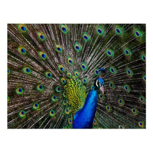 Peacock Beauty Post Cards