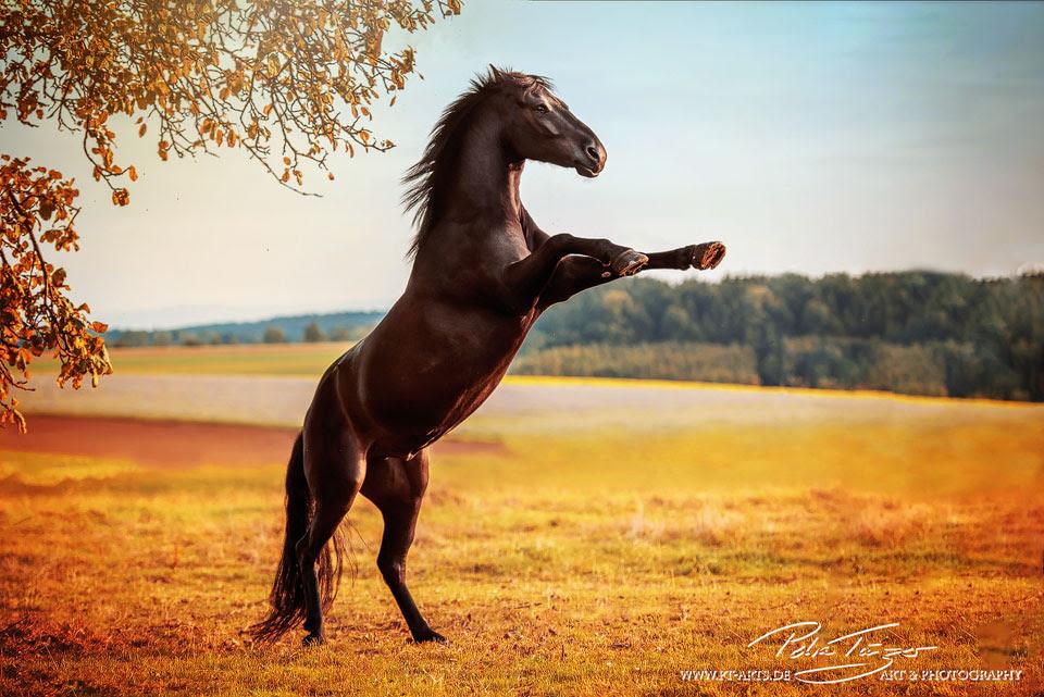 pt arts fotografie tierfotografie pferde herbst cololook warmblut steigend schwarz