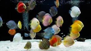 Ikan peliharaan discus hias memiliki corak berwarna warni 12 Cara Merawat Ikan Discus Bagi Pemula