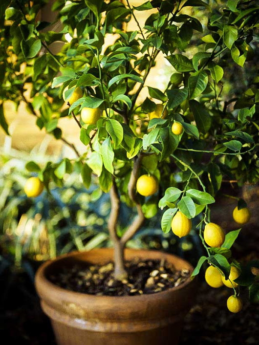How to Grow Lemon Tree in Pot | Complete Growing Guide