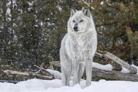 Court Rules In Favor of Gray Wolves - Environmental Watch