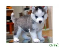 Buy Sell Pets Chhito Nepal S Number 1 Classified Nepal Advertisement Online Secondhand Laptop Bike Store Cheap Price Best Deal Buy Sell