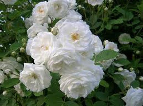 62+ Gambar Bunga Mawar Cantik Dan Indah Paling Bagus