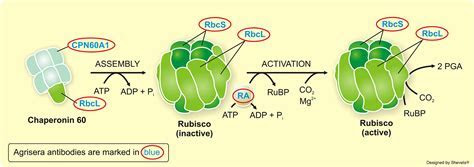 antibodies to plant and algal rubisco large subunit, rubisco small subunit, rubisco depletion kit