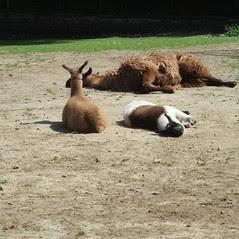 high park llamas