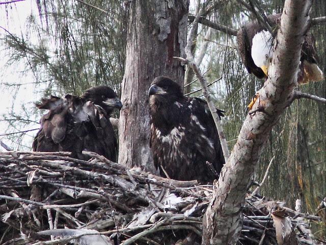Bald Eaglets older Honor on right 20140314
