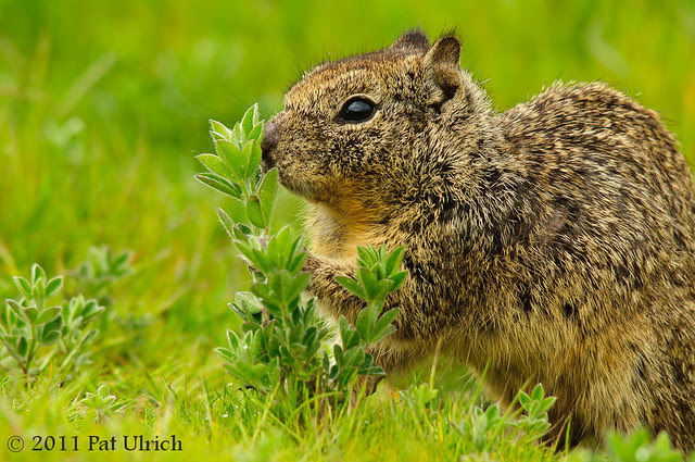 Ground Squirrel Snack - Pat Ulrich Wildlife Photography