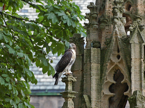 Cathedral Red-Tail Fledgling