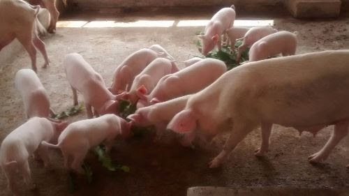 How To Start A Lucrative Pig Farming In Nigeria