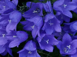 Cup-and-saucer-canterbury-bells