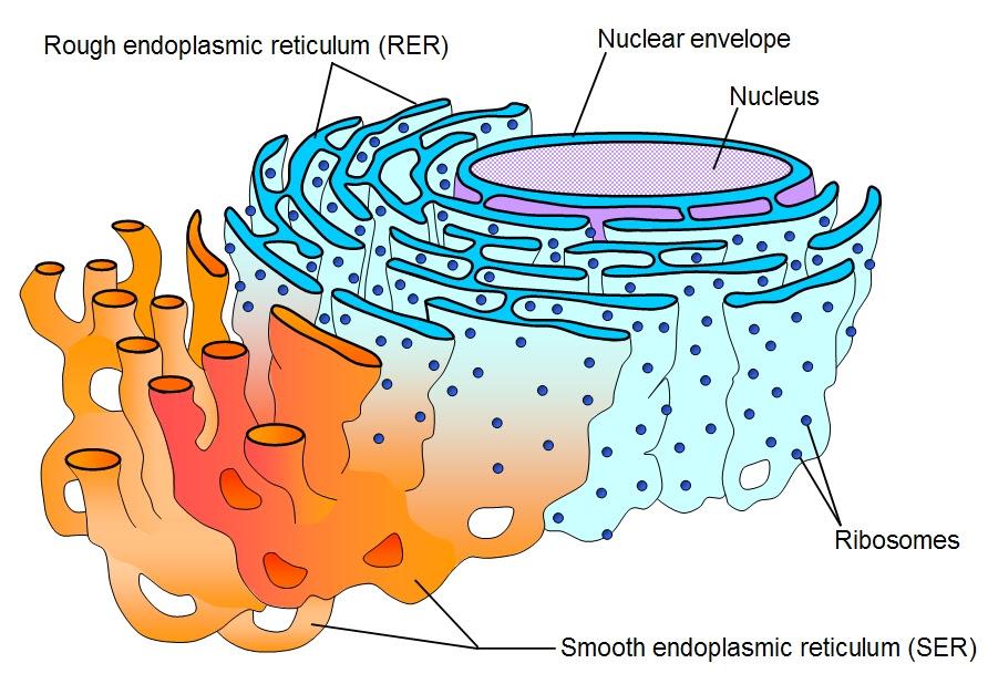 Cell_ER_labeled
