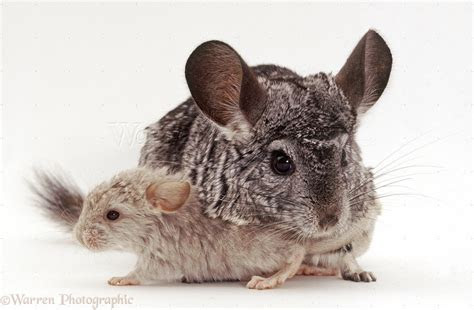 Chinchilla and baby photo WP39464