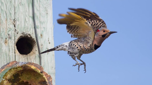 Nesting woodpeckers take toll on poles, Lumsden man fights back