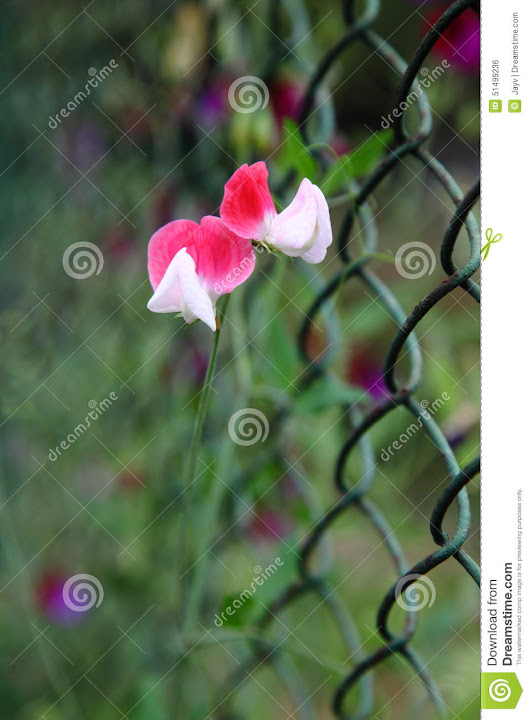 Ornamental Flower of Pea