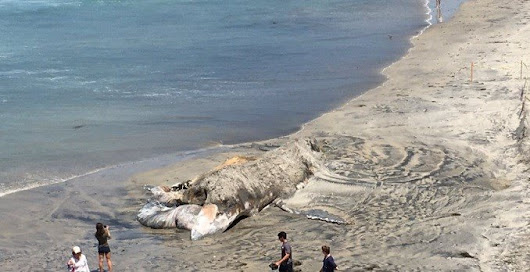 Dead whale from L.A. washes ashore in Leucadia