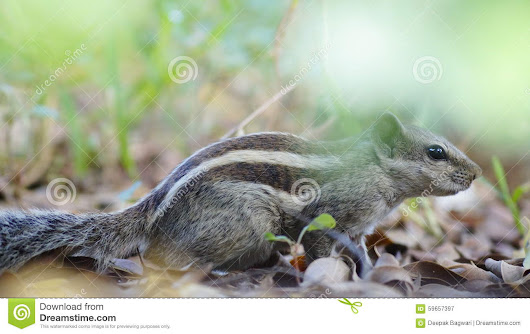 Squirrel Stock Photo - Image: 59657397