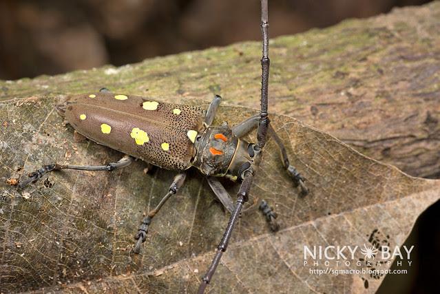 Mango Longhorn Beetle? (Bartocera rubus) - DSC_2096