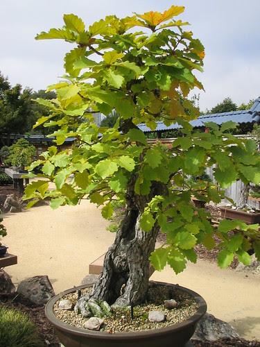 Daimyo Oak Bonsai