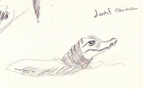 dwarf caiman