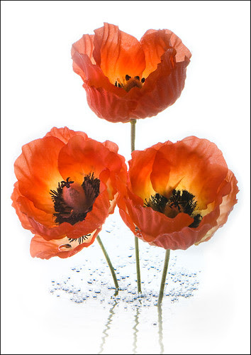 Poppies por Bald Monk