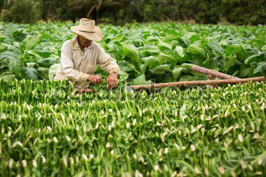Κομοτηνή: Επιστροφή ενισχύσεων για 170 καπνοκαλλιεργητές