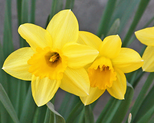 The Daffy's are back!!
