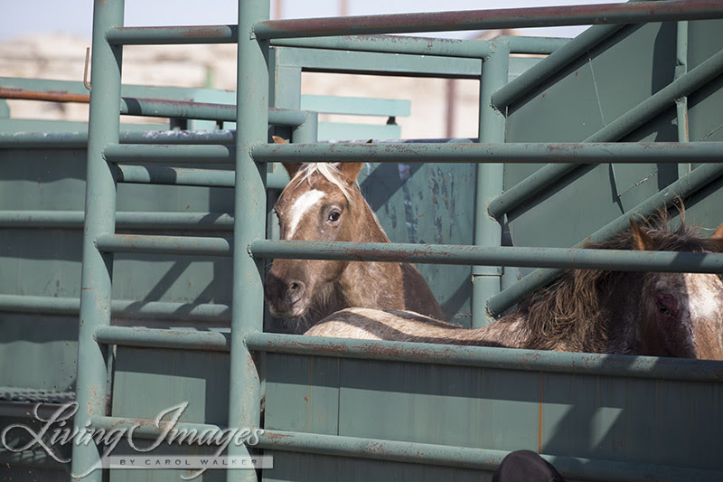 Gwendolyn and Aurora in the chute moving toward the trailer