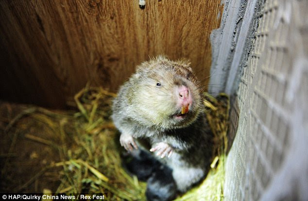 Just a baby... for now: Bamboo rats are a species of rodent that are found in the eastern half of Asia and can grow up to 50 centimetres in length and four kilograms in weight