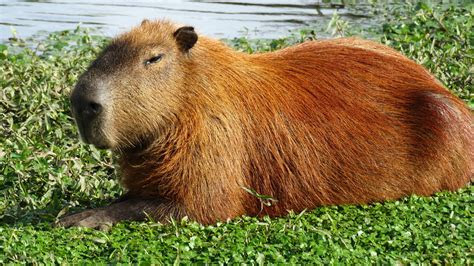Capybara Wallpapers Images Photos Pictures Backgrounds