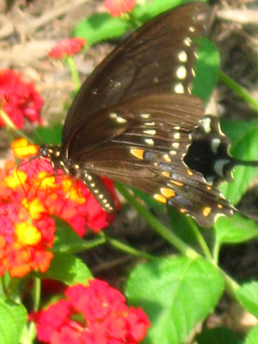 Latana and Butterfly
