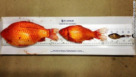 Dumped goldfish turn into giants in Canadian waters - CNN.com