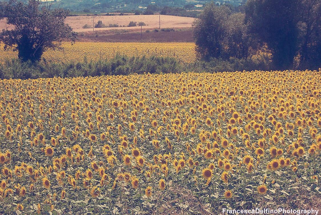 Vintage Sunflowers Tumblr | Wallpapers Gallery