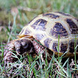 Russian tortoise - Wikipedia, the free encyclopedia