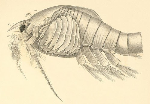 Nebalia bipes (phyllocarida) detail