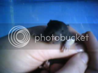 Tubby Rattie