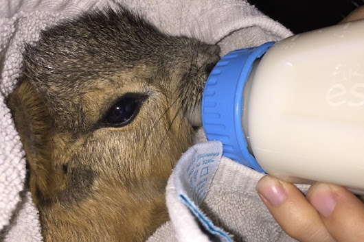 Click here to support Baby cavy needs surgery by Cassandra Keuhl