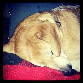 Rainy fall morning #dogs #dogsofinstagram #dogstagram #petstagram #hound #mutt #rescue #instadog #sleep #ears #adoptdontshop