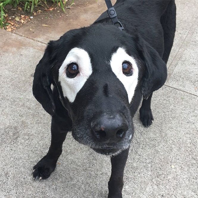 Cãozinho com manchas curiosas nos olhos vira meme na internet