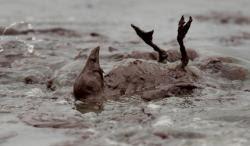 marea nera petrolio animali